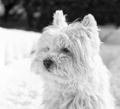 face first (paulh192) Tags: family winter blackandwhite dog pet snow kirby westie westhighlandwhiteterrier hasselbladdigital