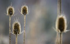 Dried Wild Teasel, 2014.11.30 (Aaron Glenn Campbell) Tags: november detail nature closeup canon outdoors pennsylvania sony sunday lehman 30th manualfocus nepa 2014 primelens luzernecounty