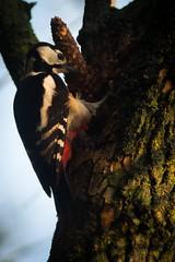 Great Spooted Woodpecker - Dendrocopos major - (Swe: Strre Hackspett) (pakerholm) Tags: bird birds animals woodpecker stream cone sweden wildlife fir gran sverige norrkping fglar djur fgel lintu linnut motalastrm kotte hackspett vildadjur strrehackspett greatspootedwoodpecker
