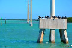Descanso en turquesa (LMostazo) Tags: sunset sea people colors beautiful port landscape mar florida pigeons paisaje move keywest hemingway gaviotas pelicanos thekeys marturquesa