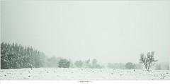 Sneeuwbui op de Stippelberg (NH020502) (nandOOnline) Tags: winter bomen sneeuw nederland natuur boom landschap sneeuwvlokken rips sneeuwbui nbrabant stippelberg