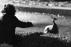 _MG_8969 (JDArdura) Tags: madrid parque byn blanco real y negro peacock retiro pavo whiteandblack