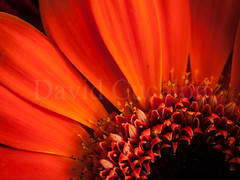 Detail of a flower (David Cucaln) Tags: stilllife orange david flower macro nature closeup 35mm details flor olympus naranja detalles 2014 naturalezamuerta e510 cucalon