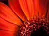 Detail of a flower (David Cucalón) Tags: stilllife orange david flower macro nature closeup 35mm details flor olympus naranja detalles 2014 naturalezamuerta e510 cucalon