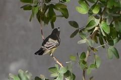 Sun Bird 06 (philjbtorres) Tags: bird yellow photography nikon sunbird yellowbird smallbird yellowbelliedsunbird nikond5100