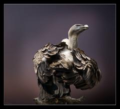 Sospecha (antoniocamero21) Tags: animal ave buitre plumas sospecha carroero