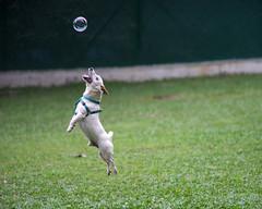 20141225-DSC07600-2400 (jenkwang) Tags: dog jump pentax takumar sony super bubble v1 a7 135mm version1