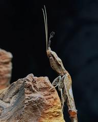 Phyllocrania paradoxa, Ghost mantis adult male (_papilio) Tags: macro mantis nikon invertebrate canonmpe65mm papilio mantid arthropod paradoxa phyllocrania sigma150mmapo d800e