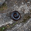 The Downward Spiral. (Sad Ryu) Tags: africa insect spiral legs zimbabwe harare chongololo