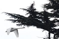 Swan (Nexus Nine Photography) Tags: kewgardens bird london nature animal kew gardens flying swan flight creature fugl biology ornithology oiseau vogel uccello kuş chim zog fågel lintu ibon burung adar ptas anatidae 鸟 ptica ndege avem voël pasăre quş pàjaro zwazo pàssaro èan
