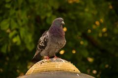 Knig der Tauben (Alias_Axel_Ryder) Tags: bird insel taube neckar tbingen knig neckarinsel tabenknig