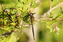 Brush tipped Emerald F Lafarge E 5 (nwmacracing) Tags: dragonfly brush trail emerald lafarge tipped
