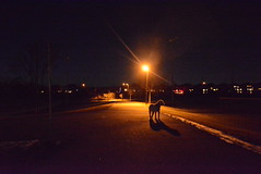 (rhianna.mellor) Tags: park longexposure light dog ontario canada night puppy photography long exposure artist photographer time walk georgetown hills terrier artists hh pup milton brampton rhianna wheaten mellor halton gtown haltonhills shreddie norval tumblr
