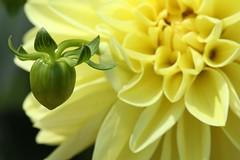 bud at every turn... (ykaren89) Tags: dahlia flower macro nature yellow canon garden petal bud