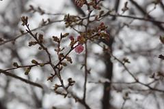Cherry blo