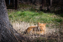 Reds-0297.jpg (riccardo.bordese) Tags: red cats cat beautifulcats
