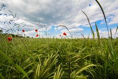 Kornfeld (Sascha Wolf) Tags: macro field deutschland nikon wheat feld poppy ernte mohn badenwrttemberg holzgerlingen weizen d7100