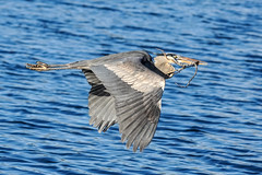 Construction Worker (BernieErnieJr) Tags: bird water colorado wildlife rockymountains frontrange greatblueheron shorebird greatphotographers coloradowildlife teamsony sonya77mkii sony70400mmg2