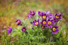 (kinga.lubawa) Tags: flowers flower colors canon spring sensual kwiaty kwiat sonnar kolory kolorowe canon6d