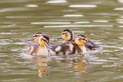 (jonathan_ed1984) Tags: lake bird birds canon spring pond waterfoul wildlife duckling lancashire mallard leigh brittish wate 2016 mallardduckling 7dmkii brittishwildlife