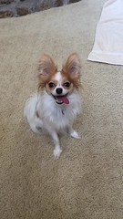 Molly, as promised (mimbrava) Tags: dog tongue molly mimbrava papillon arr allrightsreserved mimbravastudio mimeisenberg