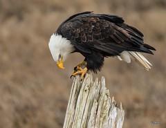 Come To Grips (T0nyJ0yce) Tags: wild birds intense eagle wildlife baldeagle feathers raptor majestic westcoast pnw haliaeetusleucocephalus birdofprey scavenger carnivore americanbaldeagle talons