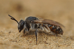 Andrena ventralis (worn ) female (henk.wallays) Tags: