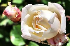 Maig_1037 (Joanbrebo) Tags: barcelona park flowers parque flores fleur blossom blumen fiori parc flors autofocus lunaphoto parccervantes efs18135mmf3556is canoneos70d
