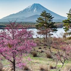 2016 Spring Fuji (shinichiro*) Tags: spring fuji jp april cherryblossom  sakura crazyshin 2016    lakeshoji  afsnikkor2470mmf28ged nikond4s 20160415ds30450