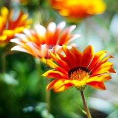 Gazania (SS) Tags: flowers italy plant blur flower garden spring bright pentax bokeh outdoor depthoffield petal gazania lazio k5 2015 smcpentaxm50mmf17 photoborder ss