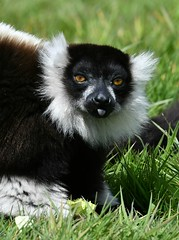 I don't do 'smile' (ukmjk) Tags: park nikon wildlife peak lemur nikkor staffordshire 70200 vr d500