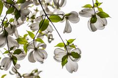 Cornus - dogwood (MikaJC) Tags: flowers tree brooklyn dogwood cornus