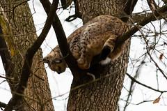 Luchs (Markus Wollny) Tags: nature bayern deutschland lynx wildpark luchs weitramsdorf
