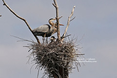 Family Portrait_HE1A1801mc2-20L (Joyce_E_Landean (Trying to get back at it)) Tags: nature nest upstateny familyportrait greatblueheron sterlingnaturecenter greatblueheronfamily