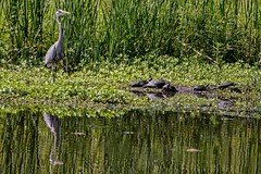 The Company You Keep (brev99) Tags: green bird reflections pond ngc turtles greatblueheron colorefex niksoftware d7100 tamron70300vc highqualityanimals