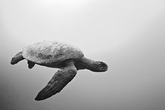 Flying (lauraclementeb) Tags: ocean blackandwhite underwater conservation sealife pb marinebiology seaturtle scubadive marineconservation underwateranimal