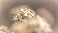 Blossoming (Augmented Reality Images (Getty Contributor)) Tags: flower macro nature canon scotland petals spring flora blossom bokeh perthshire adobe stamen editing lightroom