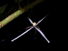 Khao Sok NP (Night Safari), Thailand (Jan-2016) 15-006 (MistyTree Adventures) Tags: nature night insect thailand spider seasia outdoor khaosok nightsafari panasoniclumix khaosoknationalpark