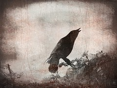 Calling The Shaman (josephburden58) Tags: nature monochrome birds woodland call wildlife magic mysterious crows shamanic sonyhx400v