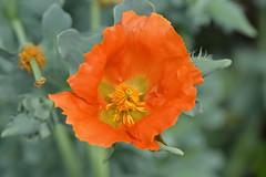 Poppy (Magic_moments.) Tags: orange green nikon stamens poppy