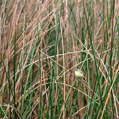 Enjoy the little things (zgrial) Tags: usa grass florida wildlife palm wintertime warbler wetland boyntonbeach littlebird greencay zgrial
