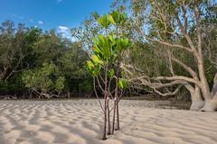 Little Mangrove in sand (--Welby--) Tags: trees light tree beach creek port coast sand smith mangrove ripples mangroves tidal broome