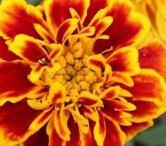 a flower (abo-omar) Tags: flower macro وردة ورده ماكرو