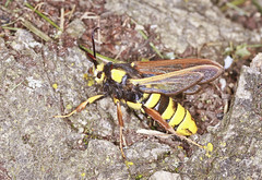 Hornet Clearwing Moth (Prank F) Tags: uk macro nature closeup insect wildlife moth hornet rutland ketton wildlifetrust lrwt clearwing kettonquarry