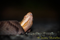 Northern Copperhead (Jeremy Schumacher) Tags: nature animal nikon snake wildlife serpent northern copperhead agkistrodon contortrix d5000 mokasen