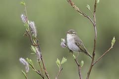Arctic Warbler (www.studebakerstudio.com) Tags: bird nature alaska wildlife arctic studebaker warbler songbird arcticwarbler
