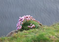 Thrift (falkirkbairn) Tags: thrift shetland sumburgh