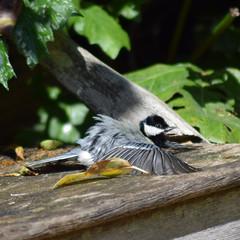 Great Tit Basking in the sun (krystennewby) Tags: great tit springwatch suffolk bury st edmunds wildlife sun summer nature bird birds sunbathing baskin basking