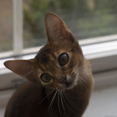 Fly Catchers 8 (peter_hasselbom) Tags: portrait cats game window face cat 50mm kitten play naturallight kittens usual abyssinian windowsill tuff ruddy 19weeksold huntingflies
