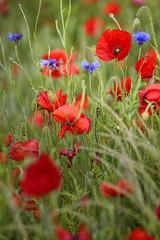 Poppies in Kent (Red Tie Photography) Tags: kent jon poppy poppies 70200 jonl thanet redpoppies niksoftware jonlambert redtiephotography canon1dx